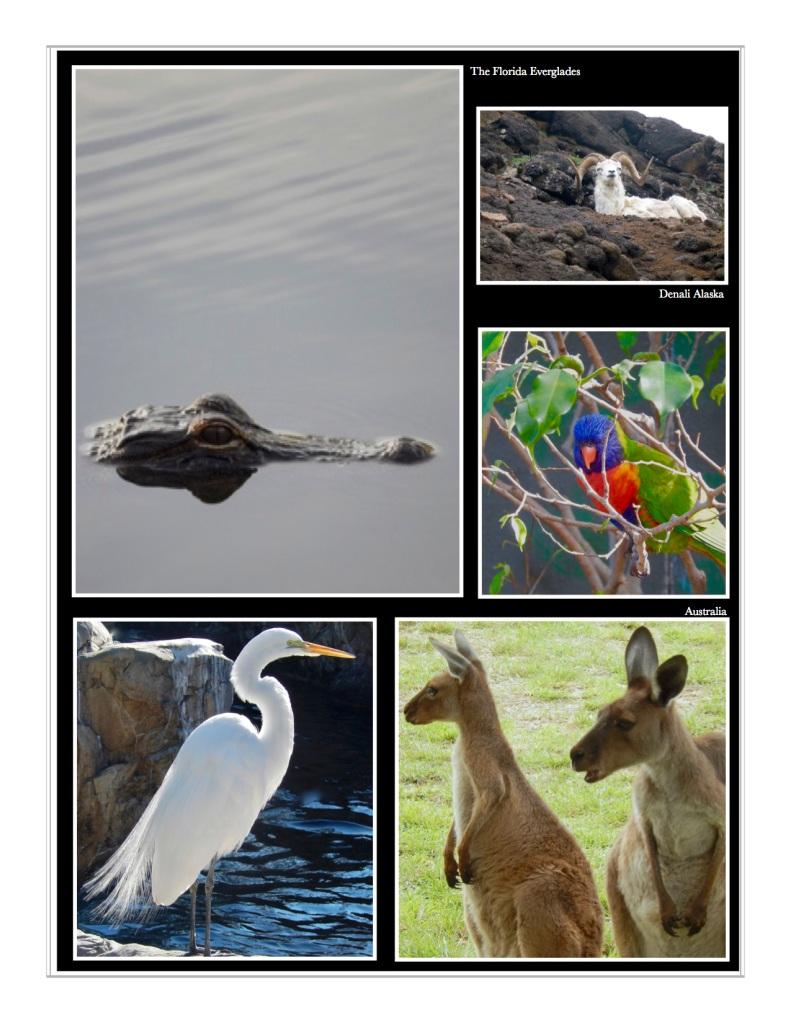 gators, dall sheep and australia wildlife